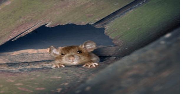 شركة مكافحة الفئران بالشارقة