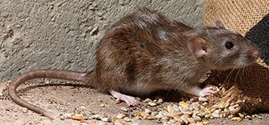علامات تدل على وجود الفئران بمنزلك