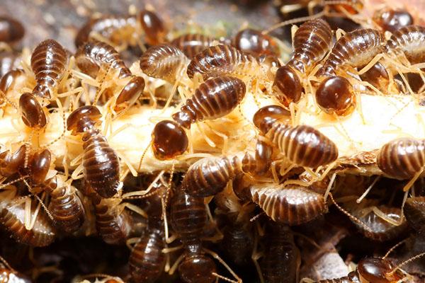 علامات-وجود-النمل-الابيض-بمنزل