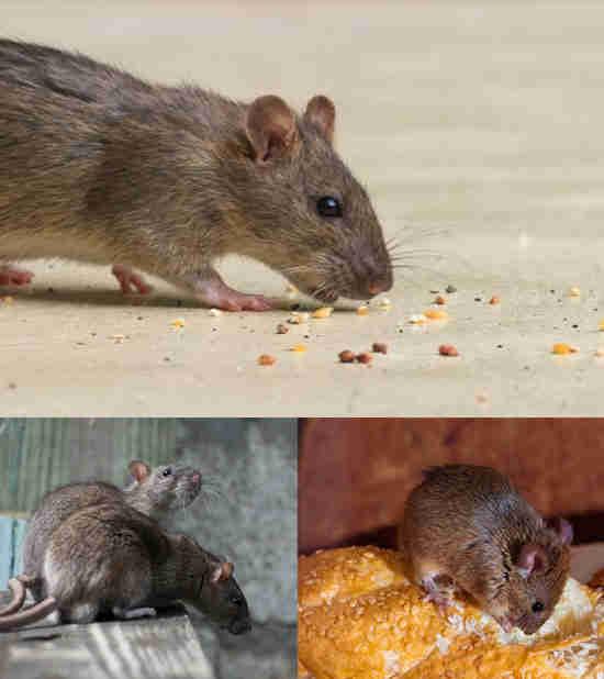 علامات تواجد فئران فى منزلك